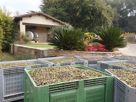 La Cadiere d'Azur, Frankrig: Arrivée d'olives au moulin
