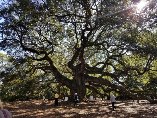 Johns Island, SC: Angel Oak Tree