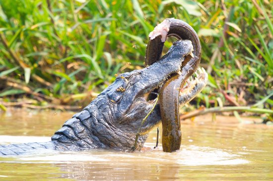 Pantanal Nature: Caiman Eating Fish
