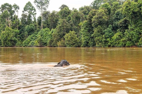 Sukau, Malaysia: Watching a young elephant crossing the river alone. Amazing! instagram : @p0n90