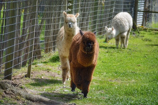 Masterton, Nieuw-Zeeland: We loved the visit 😍.  The alpaca was sooo cute and Liz, with her knowledge on the alpacas and