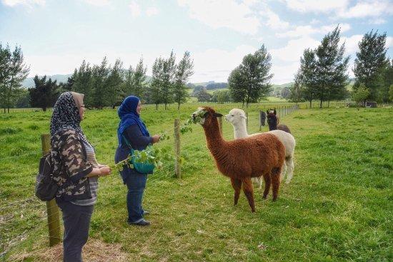 มาสเตอร์ตัน, นิวซีแลนด์: We loved the visit 😍.  The alpaca was sooo cute and Liz, with her knowledge on the alpacas and