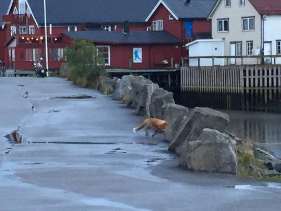 Nordland, Noruega: Villaggio e volpe