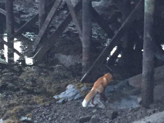 Nordland, Noruega: La volpe