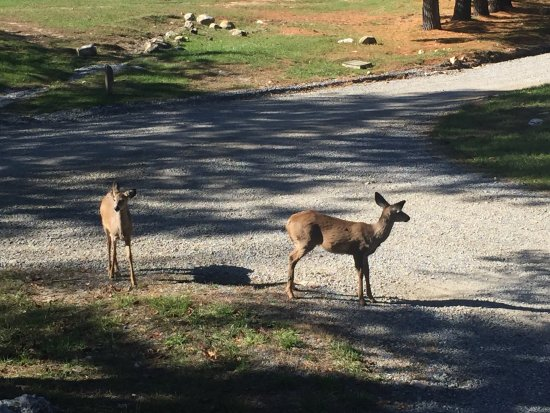 Wytheville KOA: Daily deer visitors