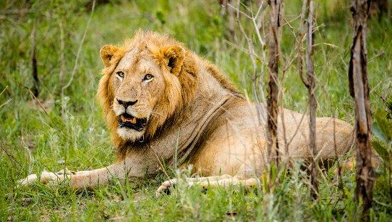 Kruger National Park, Sydafrika: Lion