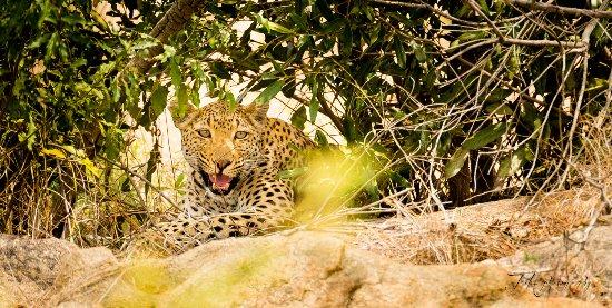 Kruger National Park, Sydafrika: Leopard