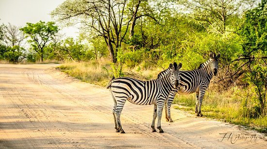 Kruger National Park, Sydafrika: Zebra