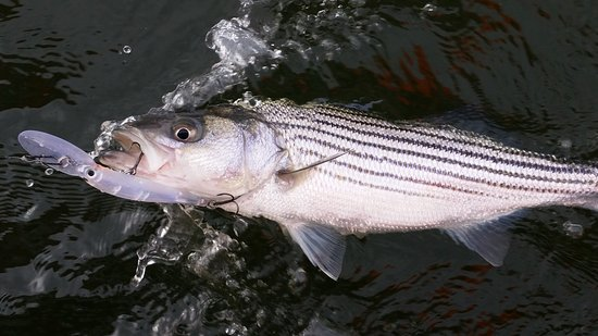 Mineral, VA: Lake Anna Striper Fishing (Lessons Only)