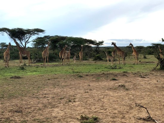 Porini Mara Camp: Giraffe everywhere :-)