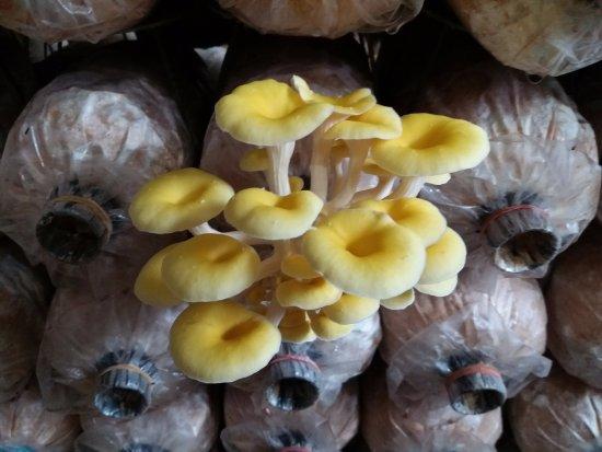 Pak Chong, Thailand: Golden Oyster Mushrooms.