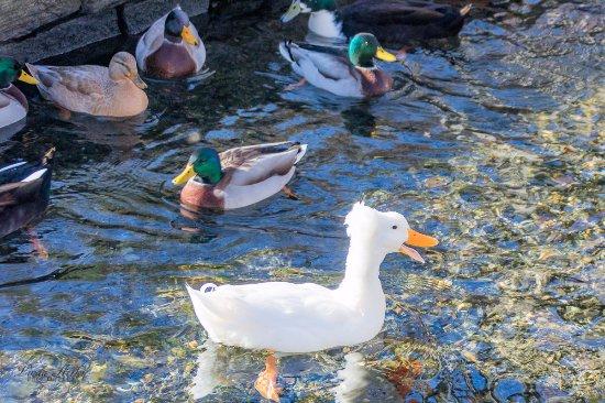 Lititz Springs Park : Lots of ducks