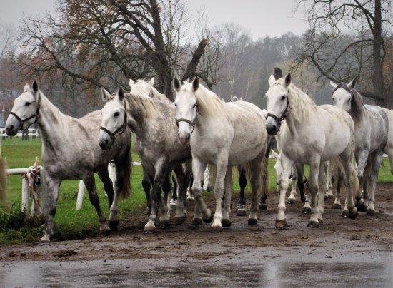 Kladruby, Republika Czeska: Old Kladrub horses - mares returning to stables
