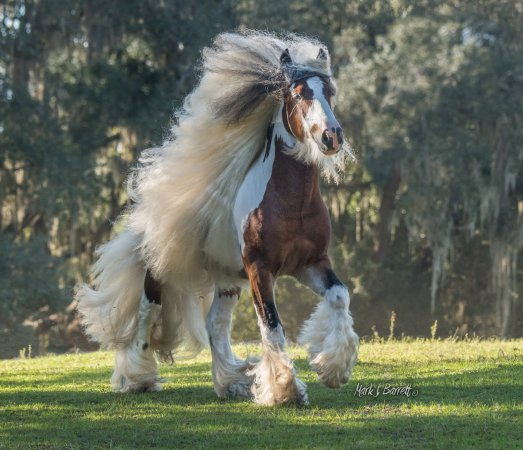 Floral City, FL: Gypsy Vanner Stallion Toffee