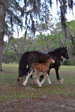 Floral City, FL: Gypsy Vanner babies