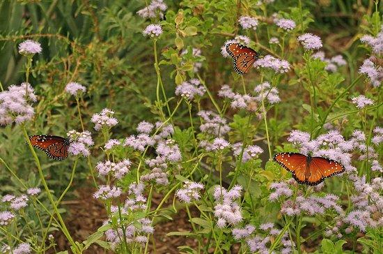 Desert Botanical Garden: Butterflies In The Herb Garden.