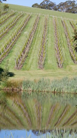 Lilydale, Australia: It's all about the vines ;-)