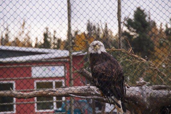 Yukon Wildlife Preserve : 北米的な鳥(イーグル?)」