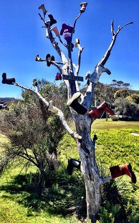 Corinna, Australia: Pieman Gum Tree lol