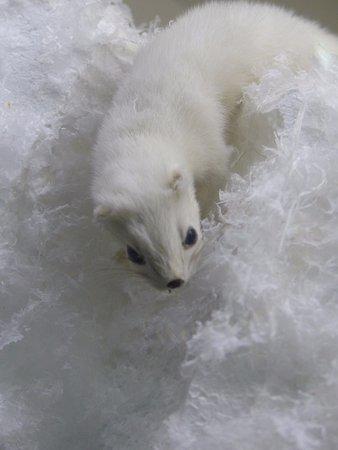 Kuopio Museum: polar fox (?)