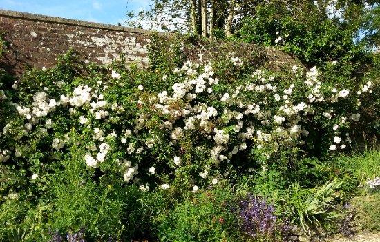 Minchinhampton, UK: Rambler rose (flowers in June)