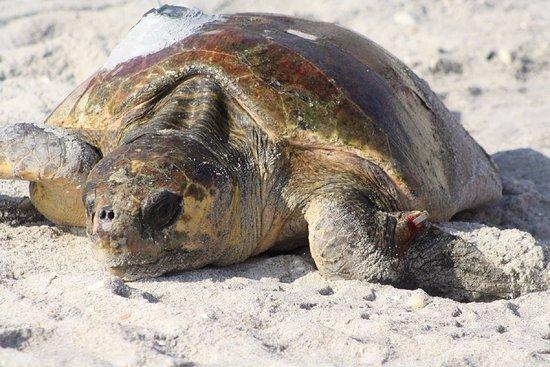 #Davis House Inn: Turtle laying time