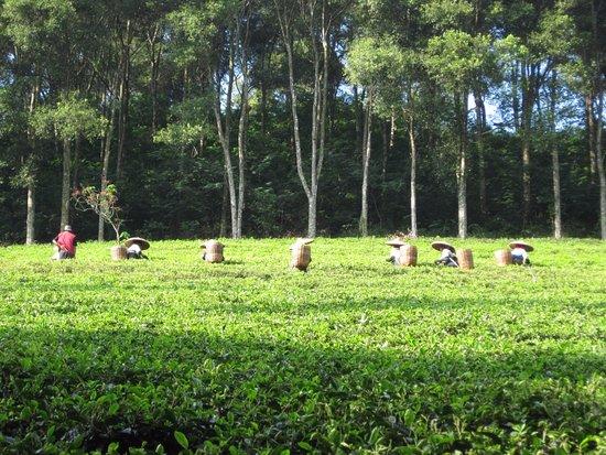 West Java, Indonesia: perkebunan teh