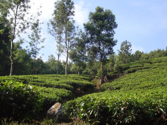 West Java, Indonesia: tea plantation