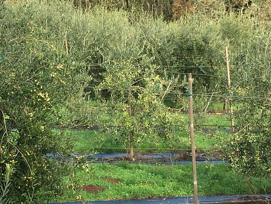 Dayton, OR: young olive grove