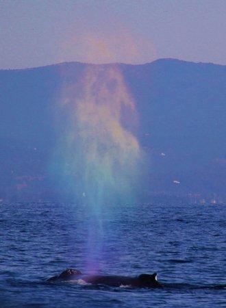 """Moss Landing, CA: """"Rainblow"""" of a Humpback whale"""