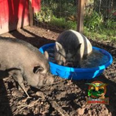 Saint Cloud, FL: Play with pigs in the barn yard