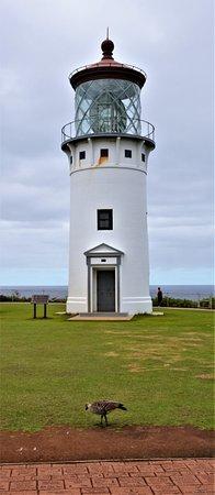 Kilauea, HI: Nene patrolling the lighthouse grounds