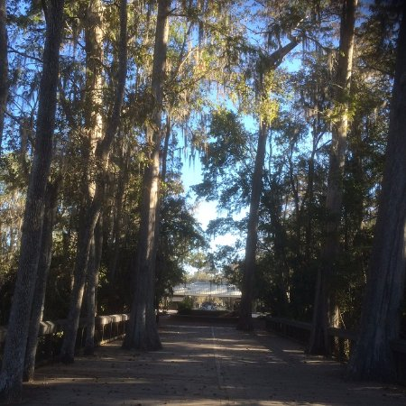 Silver Springs, FL: Impressive Tall Trees