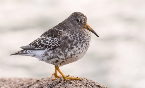 Unst, UK: Purple Sandpiper at Skaw beach, near to Saxa Vord