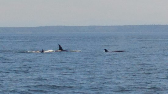 Wild Whales Vancouver : Orcas