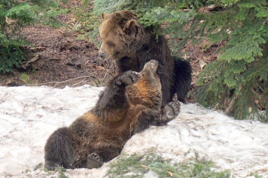 North Vancouver, Canada: Os dois ursos brincando, demos sorte