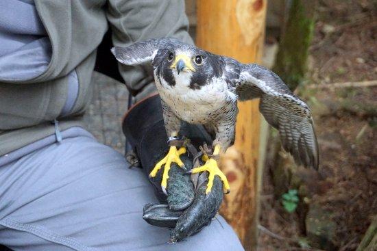 North Vancouver, Canada: falcão em exibição