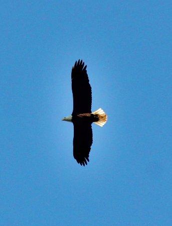 Seminole, FL: Bald Eagle