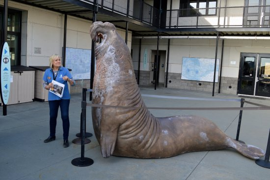 Marine Mammal Center : A life size male elephant seal statue