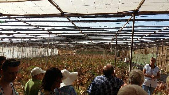 Ingenio, Spain: The plantation at Gran Canaria
