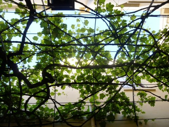 Cape Heritage Hotel: This is the oldest vine in Cape Town giving some shade