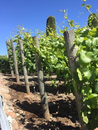 Sonoma Valley: grapes