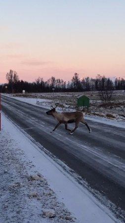 Krokelvdalen, Norway: Reindeer
