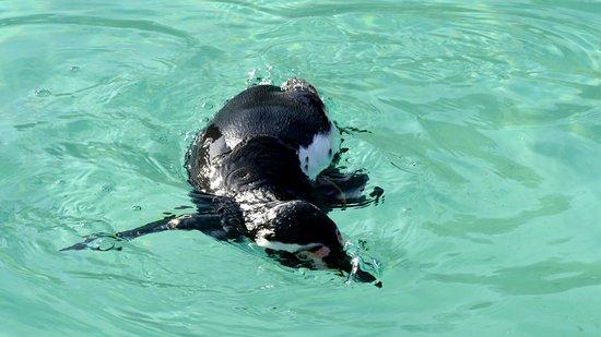 Burford, UK: Humboldt penguin