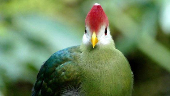 Burford, UK: A red-crested turaco
