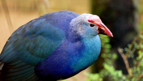 Burford, UK: The beautiful plumage of a mauve swamp hen
