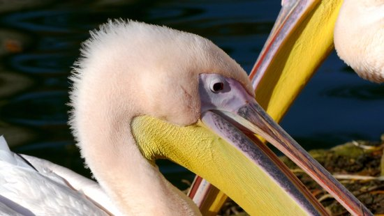 Burford, UK: The pelicans' brightly-coloured bills