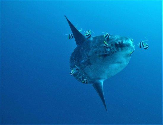 Big Fish Diving: Mola season!