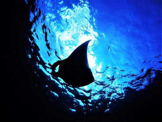 Big Fish Diving: Manta love