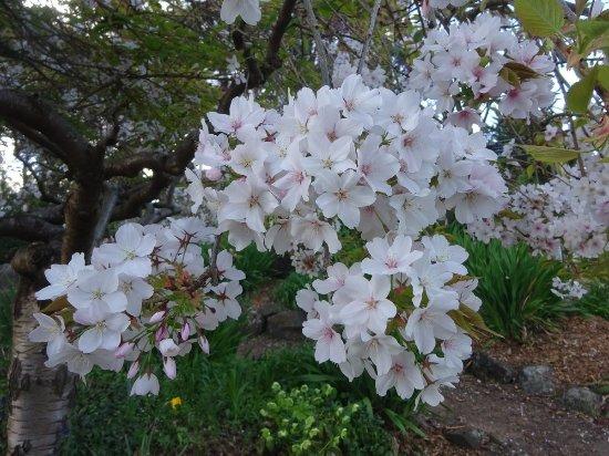 Ararat, Australia: Cherry blossoms